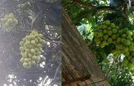 திருகோணமலையில் ஒரு மா மரத்தில் காய்த்துக் குலுங்கிய 12 வகையான மாவினங்கள்...