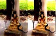 சிவனின் கழுத்தில் ஏறி படம் எடுத்த மிக நீளமான ராஜநாகம்!